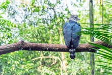 Harpy Eagle Sitting On A Branc...