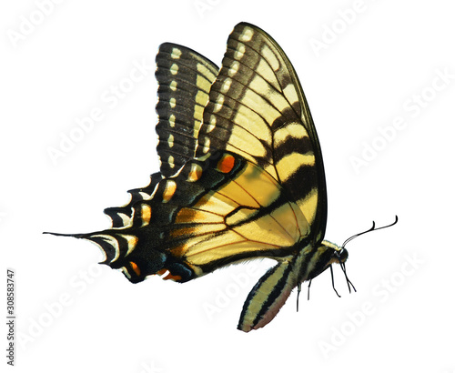 Photo eastern tiger swallowtail isolated