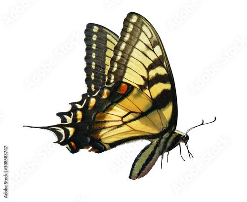 Valokuva eastern tiger swallowtail isolated