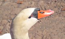 Swan Detail II