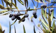 Black Olives On Branch In Blue...