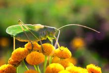 Green Grasshopper Close-up. La...