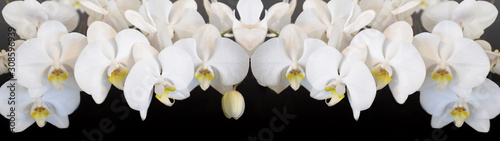 Fototapeta Beautiful white orchids isolated on black background panorama banner long obraz