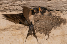 Barn Swallows (Hirundo Rustica) In The Nest.