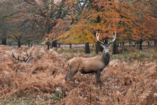 Red Deer Are A Distinctive Rusty Red Color In Summer Turning To A Brown Winter Coat. The Breeding Season, Or The Rut, Occurs From The End Of September To November. Richmond Park, England