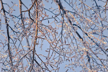 Ice Covered Tree Branches With Blue Sky