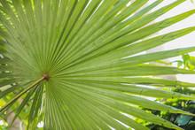 Large Sprawling Fan Palms Leav...