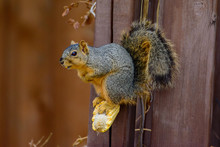 Fox Squirrel (Sciurus Niger) S...