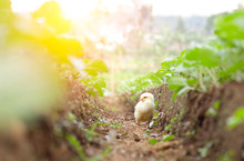 Little Cute Baby Chicks Betwee...
