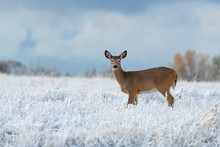 White-tailed Deer In A Snowy M...