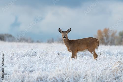 Fototapeta White-tailed Deer in a Snowy Meadow