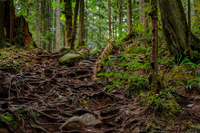 Twisted Exposed Gnarled Roots Of Pine Trees Growing On A Slope Of A Hill In Lynn Canyon Park Forest In Vancouver, Canada