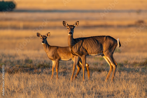 A Beautiful White-tailed deer doe and Fawn Poster Mural XXL