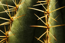 Close Up Thorns, Cactus