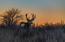 Large Mule Deer Buck At Sunrise