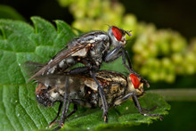 Flies Mating On The Leaf