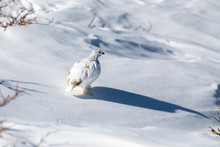White-tailed Ptarmigan In Winter Plumage In A Snowy Alpine Meadow