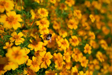 A Bumblebee Collecting Pollen On Bright Yellow And Orange Flowers With A Blurred Sunny Background.