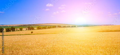 Fototapeta Golden sunset over wheat field. Wide photo. obraz