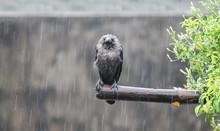 Wet Crow In The Rain Stock Pho...