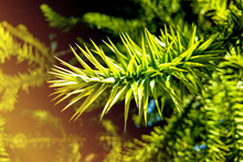 Monkey Puzzle Tree Branch - La...