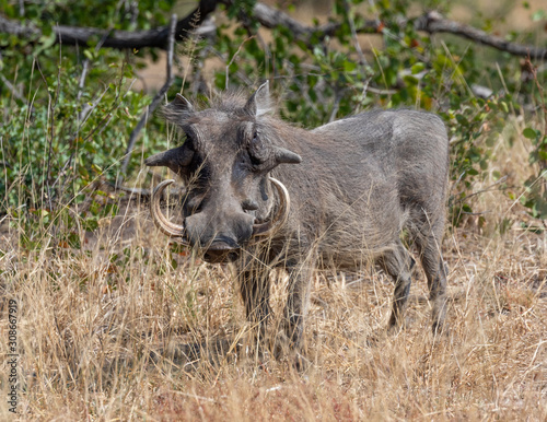 Fotomural One warthog with big tusks standing in dry grass in Kruger National Park