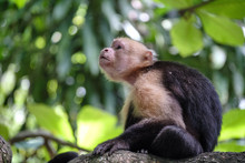 White Faced Capuchin Monkey In The Costa Rican Jungle Also Known As Organ Monkey