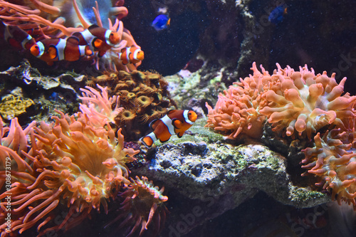 Clownfish and Paracanthurus in coral Tablou Canvas
