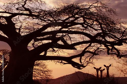 Obraz na plátně Afrikanische Affenbrotbaum (Adansonia digitata) auch Afrikanischer Baobab bei Ab
