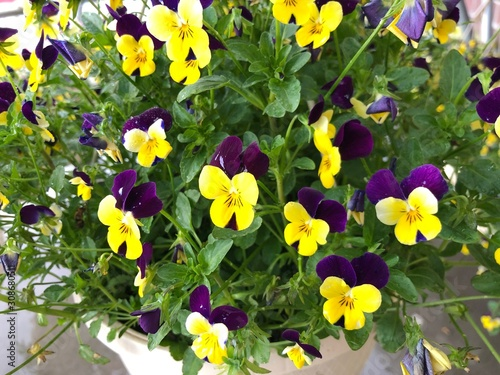 Medium close up of clusters of yellow and violet flowers in pots at a park