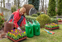 Planting Pansies On A Grave In Spring