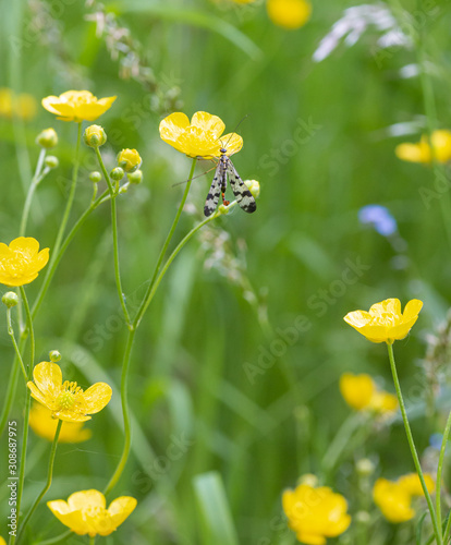 male common scorpion fly (panorpa communis) on meadow buttercup (ranunculus acri Wallpaper Mural
