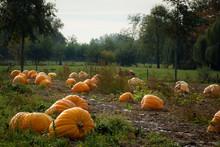 Giant Pumpkin On A Patch. Giant Pumpkins On Farmland