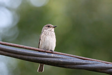 Spotted Flycatcher Muscicapa Striata Sitting On Wire. Cute Brown Common Songbird In Wildlife.