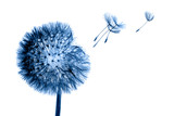 Fototapeta Dmuchawce - White bloom head Dandelion flower with flying seedstoning in classic blue color. Trendy creative design in color of 2020.