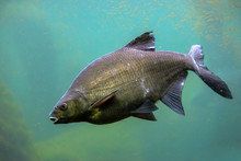 Common Carp Fish In Freshwater...