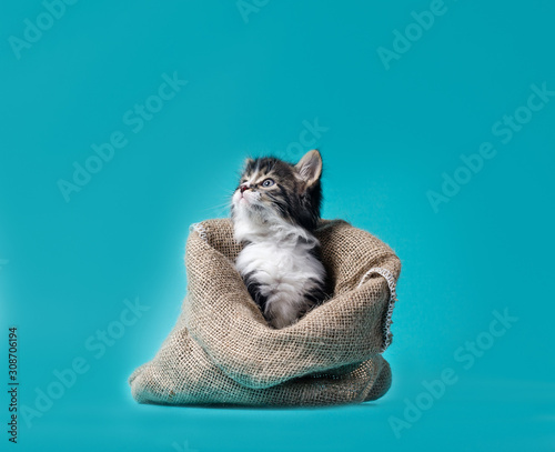 Cuadros en Lienzo tabby kitten gets out of the sack on a turquoise background