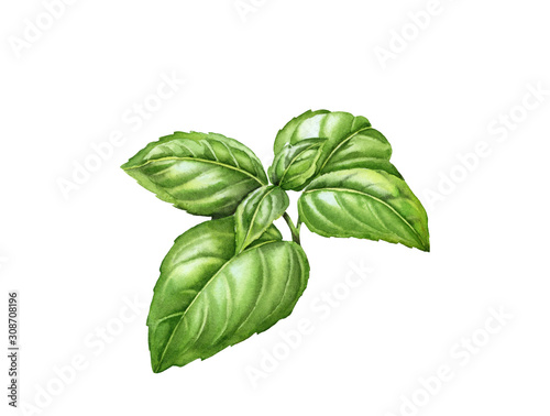Canvastavla Watercolor basil branch with realistic leaves