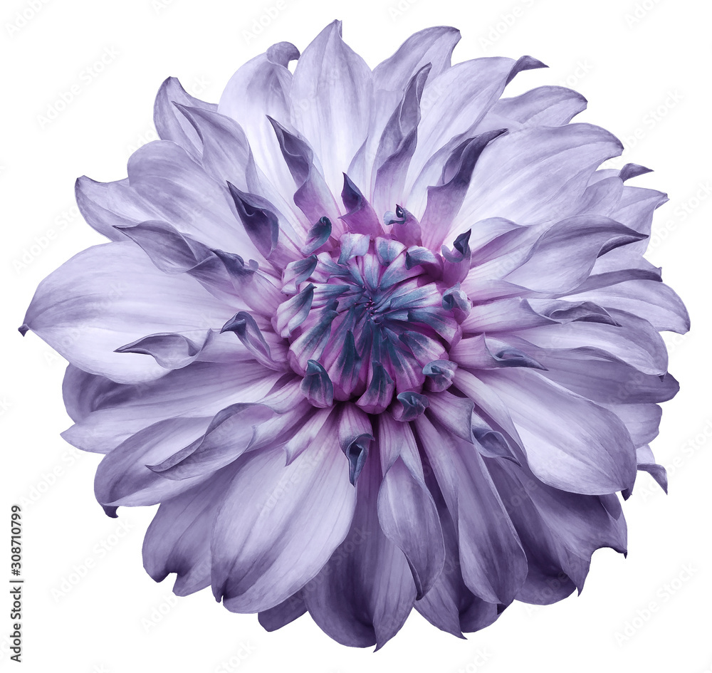 Fototapeta dahlia flower light purple. Flower isolated on a white background. No shadows with clipping path. Close-up. Nature.
