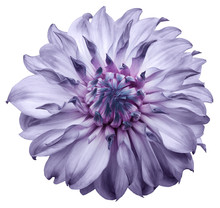 Dahlia Flower Light Purple. Fl...