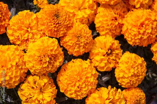 Fotomural Marigold flower, Lots of beautiful marigold flowers in the garden