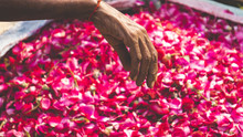 Hand Reaching For Dried Rose P...