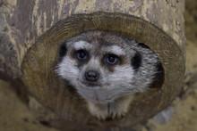 Cute Muzzle Of A Meerkat Looki...