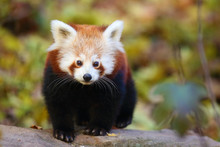 The Red Panda (Ailurus Fulgens) , Fire Fox Or Lesser Panda, The Red Bear-cat, And The Red Cat-bear, Portrait In The Afternoon Light.Red Panda On A Branch With Colorful Background.