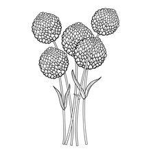 Bouquet With Outline Ball Of Craspedia Or Billy Buttons Or Woollyheads Dried Flower In Black Isolated On White Background.