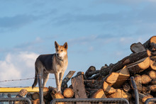 Dog On Top Of Pile Of Logs.