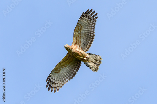 Jerdon's Baza (Aviceda jerdoni) Hawk migratory bird flying on the blue sky Canvas Print