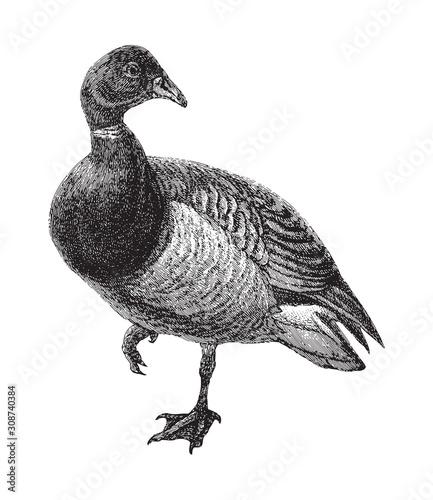 Obraz na plátně Brant Goose (Branta bernicla) / vintage illustration from Meyers Konversations-L