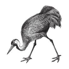 Common Crane (Grus Communis) / Vintage Illustration From Meyers Konversations-Lexikon 1897
