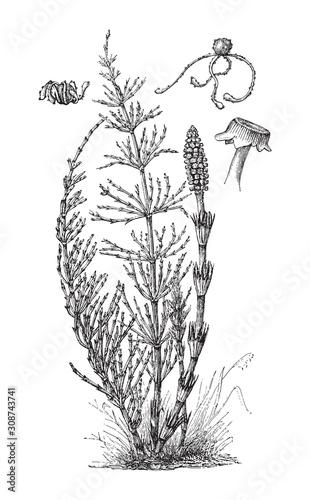 Fotografie, Obraz Field Horsetail (Equisetum arvense) / vintage illustration from Meyers Konversat